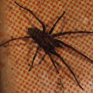 Duże czarne pająki w domu